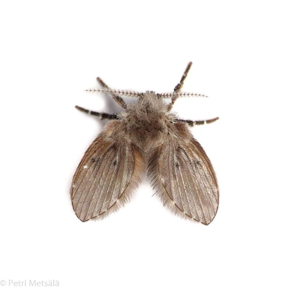 Perhossääski